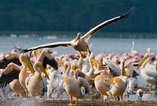 Grupa pelikanów na jeziorze.
