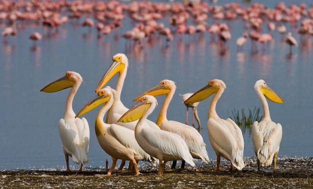 Grupa pelikanów siedzi nad wodą. jezioro nakuru.