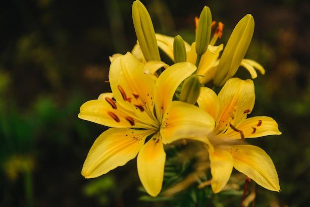 Grupa piękny żółty leluja kwiat w zieleń ogródzie.