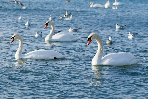 Grupa pięknych białych łabędzi zimą pływa na morzu wolnym od lodu.