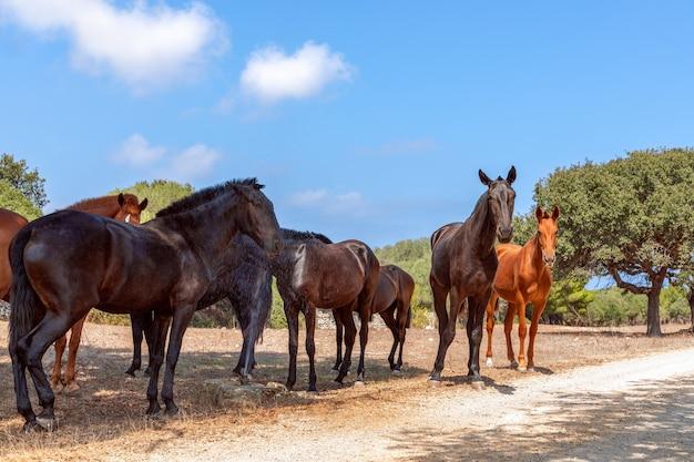 Grupa pięknych koni (koń menorquin) odpoczywa w cieniu drzew. minorka (baleary), hiszpania