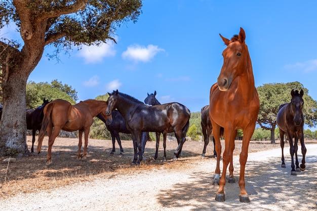 Grupa pięknych koni (koń menorquin) wypoczywa w cieniu drzew. minorka (baleary), hiszpania