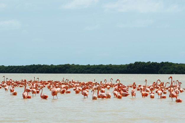 Grupa pięknych różowych flamingów w celestun