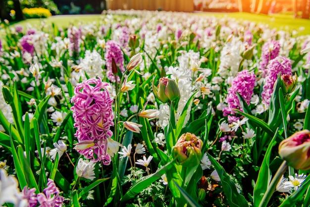Grupa pięknych wielobarwnych hiacyntów. holandia. keukenhof flower park