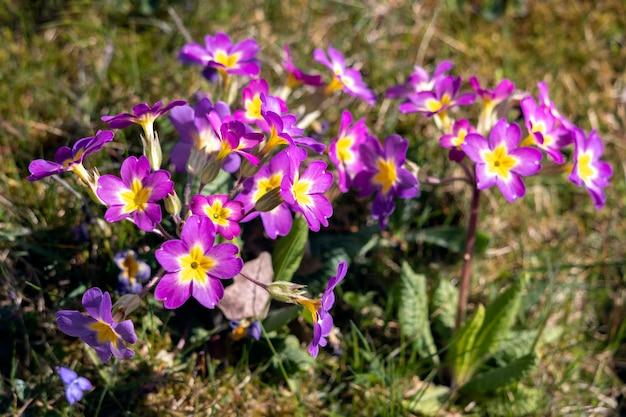 Grupa pierwiosnków magenta kwitnących w wiosennym słońcu