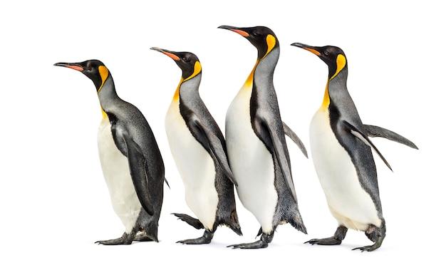 Grupa pingwinów królewskich spaceru z rzędu, na białym tle