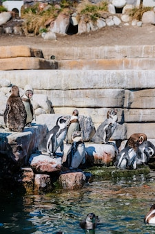Grupa pingwinów w parku zoo