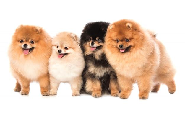 Grupa pomorskich psów szpiców