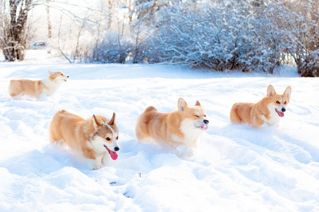 Grupa psów corgi biegających w śniegu na spacerze w zimie