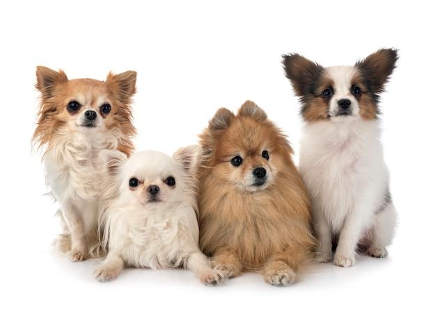Grupa psów na białym tle