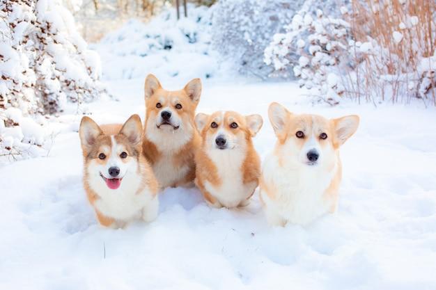Grupa psów walijskich corgi zimą w parku
