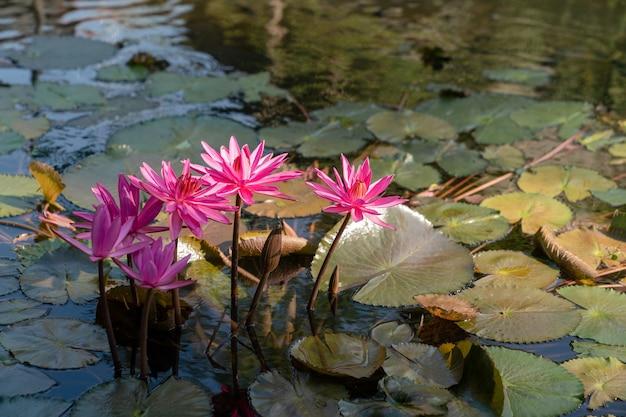 Grupa różowa lilia wodna lub kwiat lotosu w stawie.