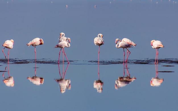Grupa różowe flamingi w błękitnej lagunie w słoneczny dzień. zatoka walvis, namibia