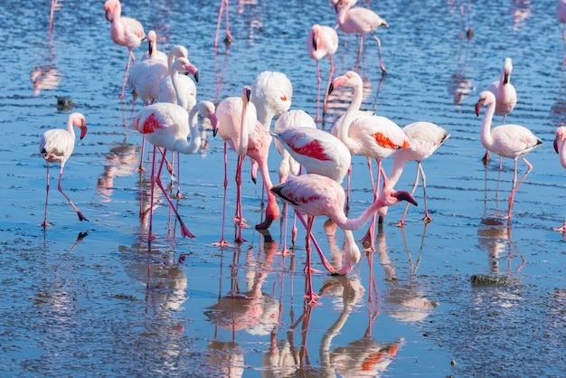 Grupa różowi flamingi na morzu przy walvis zatoką, namibia, afryka