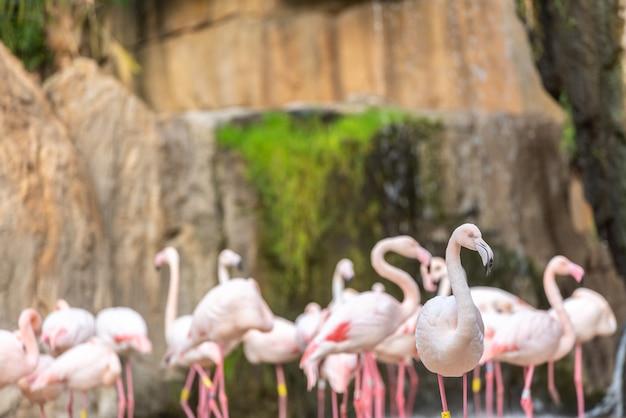 Grupa różowi flamingi, phoenicopterus roseus, chodzi.