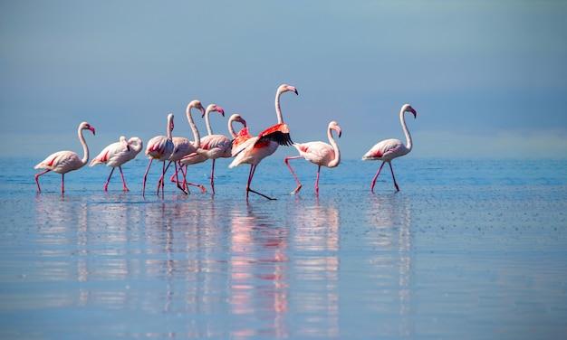 Grupa różowych afrykańskich flamingów spacerujących po błękitnej lagunie w słoneczny dzień