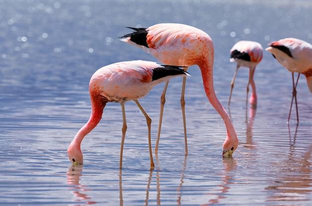 Grupa różowych andyjskich flamingów w słonym jeziorze chaxa blisko san pedro de atacama