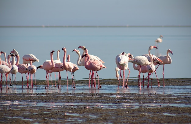 Grupa różowych ptaków flamingów w błękitnej lagunie w słoneczny dzień