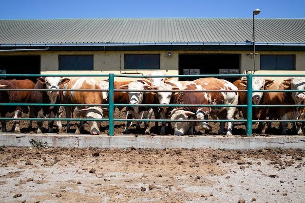 Grupa silnych umięśnionych byków zwierząt domowych do produkcji mięsa w gospodarstwie ekologicznym.