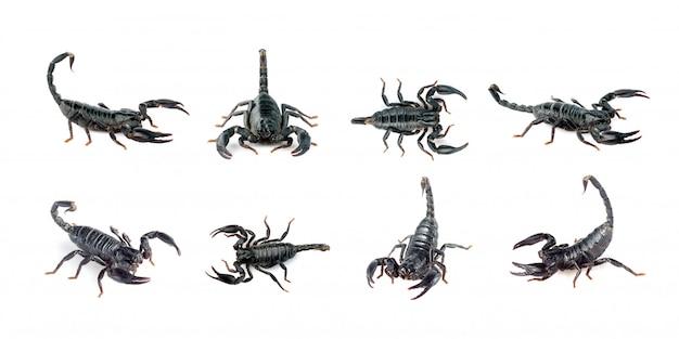 Grupa skorpiona na białym tle. owad. zwierzę.