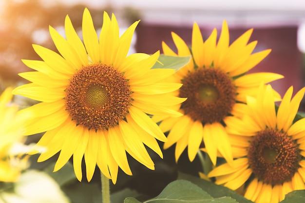 Grupa słoneczników w przyrodzie. koncepcja kwiat i flora.