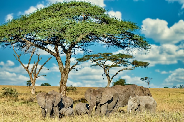 Grupa słoni chodzących po suchej trawie na pustyni
