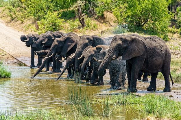 Grupa słoni pije wodę na zalanej ziemi w ciągu dnia