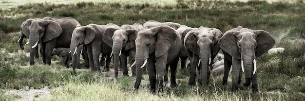 Grupa słoni w parku narodowym serengeti