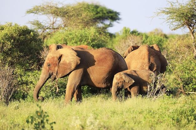 Grupa słoni w parku narodowym tsavo east, kenia, afryka