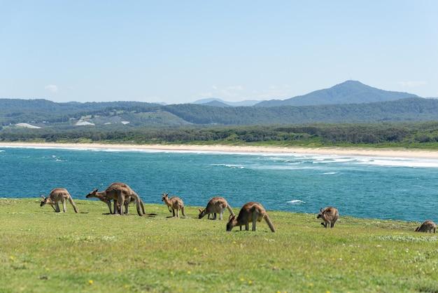Grupa szary kangur karmienia odrobina krajobrazu morskiego w background.nature concept.wildlife concept