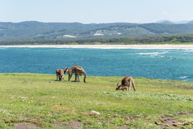 Grupa szary kangur w zielonej łące odrobina seascape w background.nature concept.wildlife concept