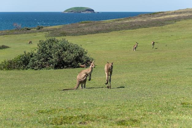 Grupa szary kangur w zielonej łące ze sceną morską w tle. koncepcja natury. koncepcja dzikiej przyrody