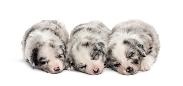 Grupa szczeniąt mieszaniec spanie w rzędzie na białym tle