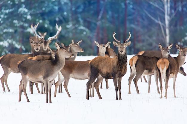 Grupa szlachetnych jeleni cervus elaphus w zimowym lesie