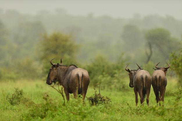 Grupa trzech gnu pasących się na trawie pokryte polem w afrykańskiej dżungli