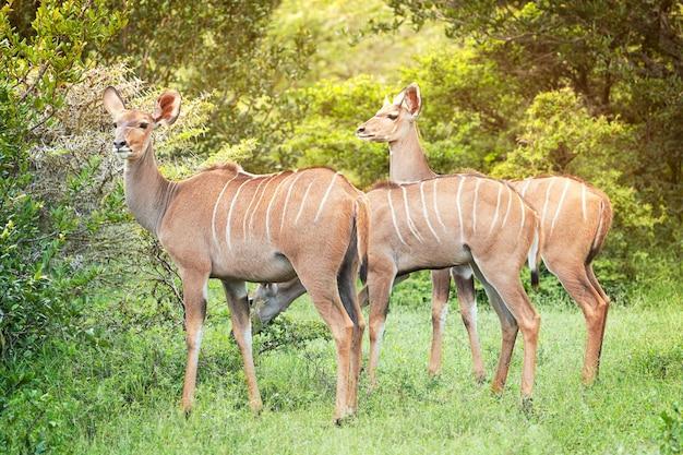 Grupa trzech południowoafrykańskich czerwonobrązowych antylop kudu z paskami na skórze spokojnie jedzących