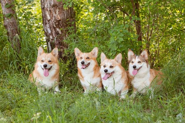 Grupa trzech psów rasy walijski corgi na trawie