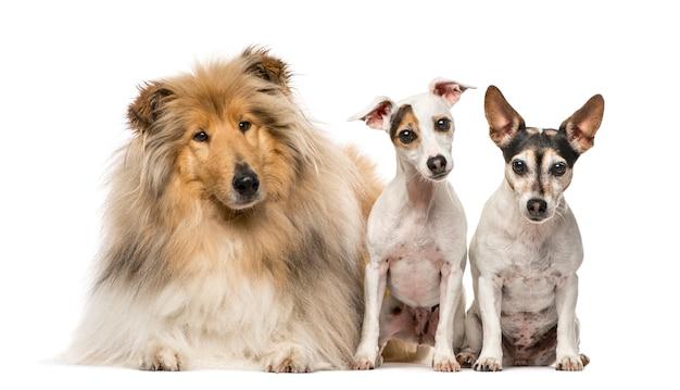 Grupa trzech psów scotch collie i dwóch jack russell terrierów