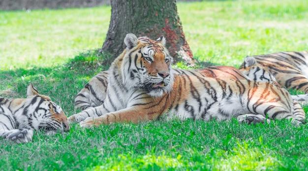 Grupa tygrysów leżących w trawie
