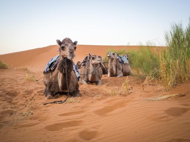 Grupa wielbłądów siedzi na piasku na saharze w otoczeniu trawy w maroku