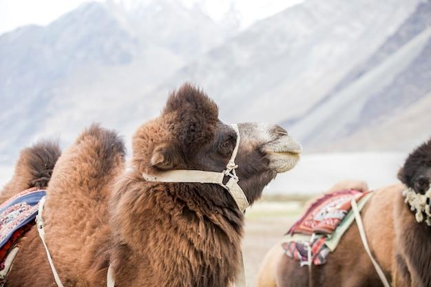 Grupa wielbłądów w dolinie nubra na wydmach hunder sand, w regionie ladakh w regionie dżammu i kaszmiru
