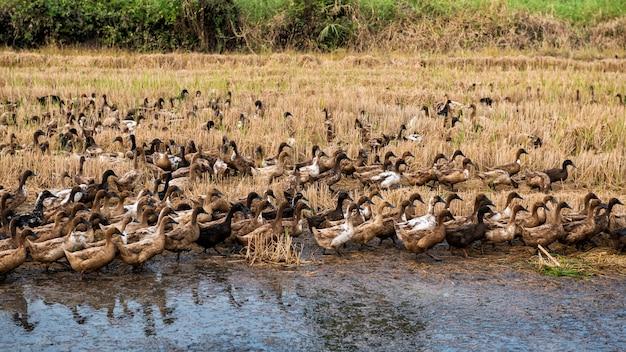 Grupa wielu kaczek chodzących po suchym polu ryżowym