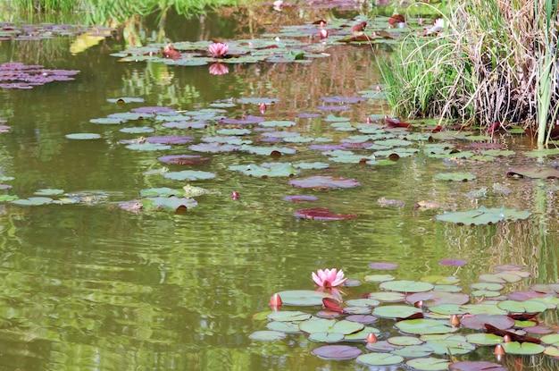 Grupa żab i różowe lilie wodne na małej powierzchni stawu