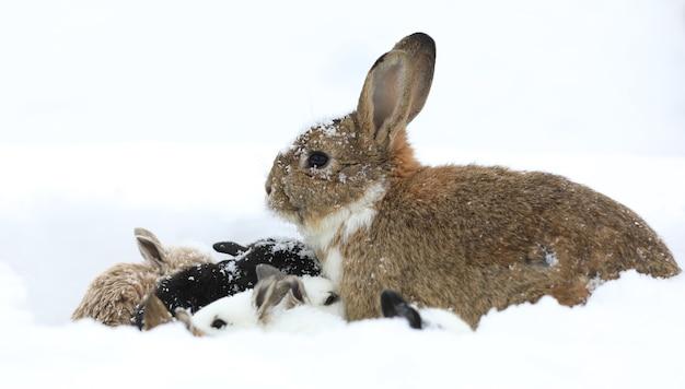 Grupa zajęcy na śniegu