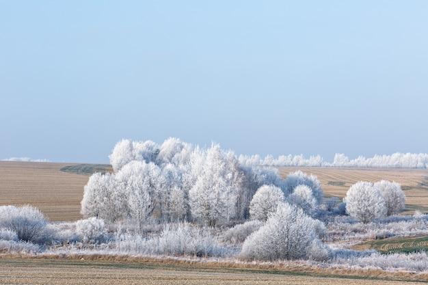 Grupa zamarzniętych drzew na zimowym polu i błękitne niebo