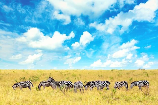 Grupa zebr w afrykańskiej sawannie w parku narodowym masai mara. dzika przyroda kenii, afryka. afrykański krajobraz z zebrami, niebieskim niebem i chmurami.