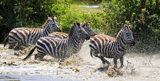 Grupa zebry biegające po wodzie. kenia. tanzania. park narodowy. serengeti. masajowie mara.
