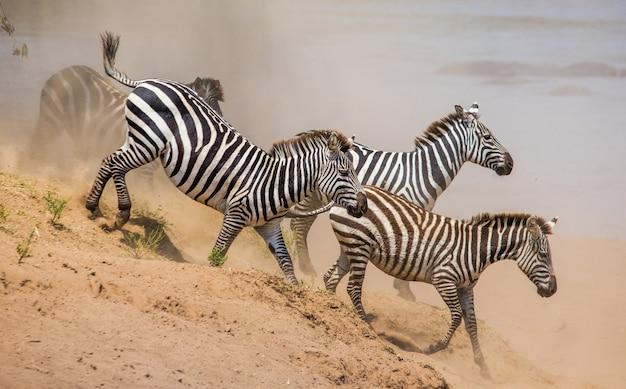 Grupa zebry biegające w pyle. kenia. tanzania. park narodowy. serengeti. masajowie mara.