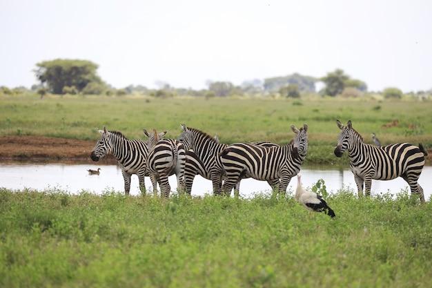 Grupa zebry na brzegu rzeki w parku narodowym tsavo east, kenia, afryka