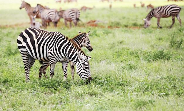 Grupa zebry pasące się w parku narodowym tsavo east, kenia, afryka